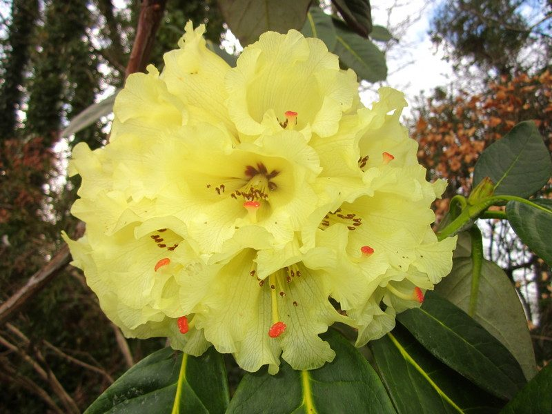 Full bloom rhododendron