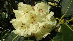 Rare Himalayan Rhododendron
