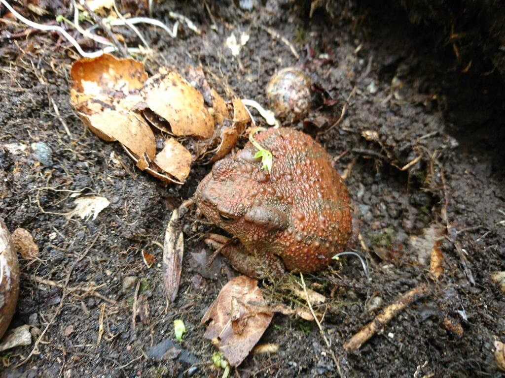 Orange coloured toad